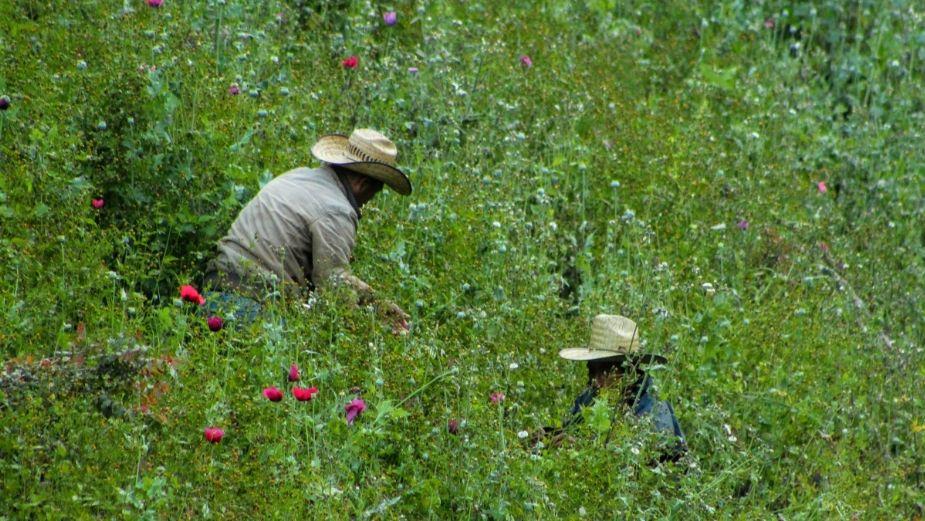 Amapola, cultivo aún insustituible