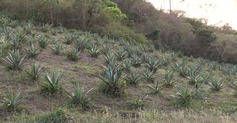 plantación raicilla