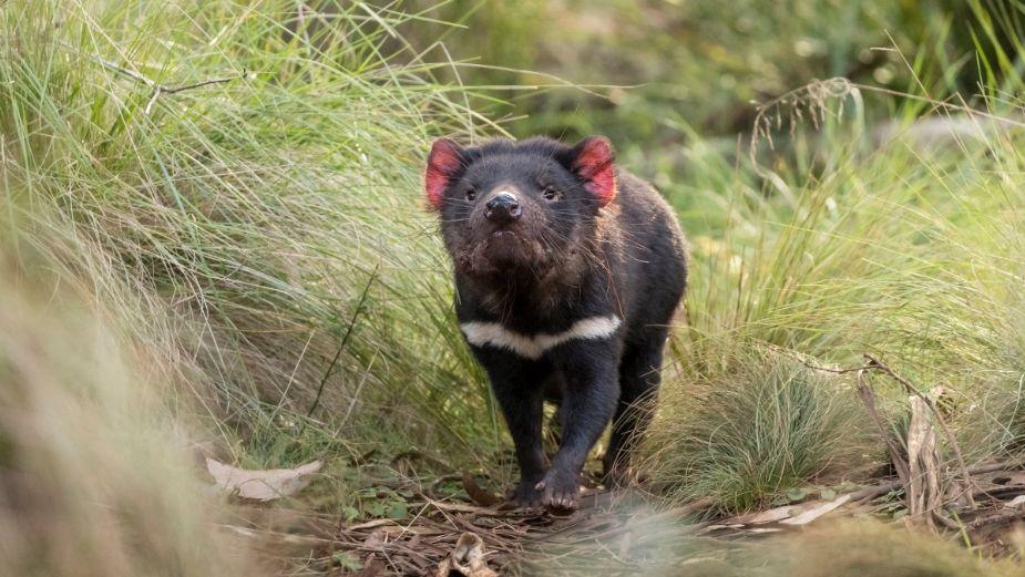 Nacen 7 demonios de Tasmania, se creían extintos hace 3 mil años: FOTOS