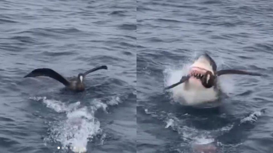 El tiburón se comió al ave por 'ladrón'. Foto: Captura
