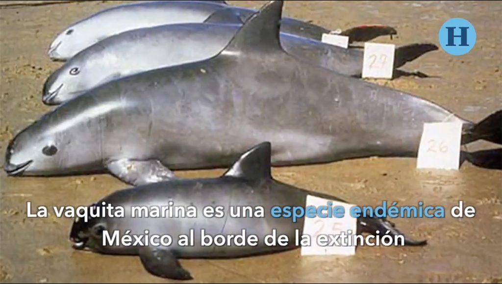 El terrible caso de la vaquita marina