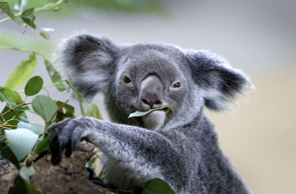 Solamente en la Costa del Koala, al sur de Brisbane, la población se redujo en más del 80 por ciento entre 1996 a 2014. FOTO AP