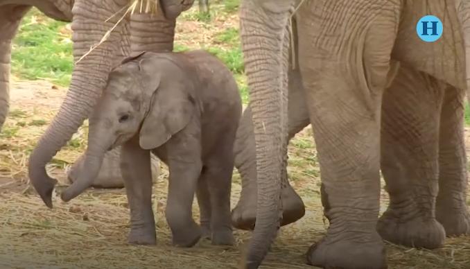 Conoce al primer elefante africano macho que nació en México