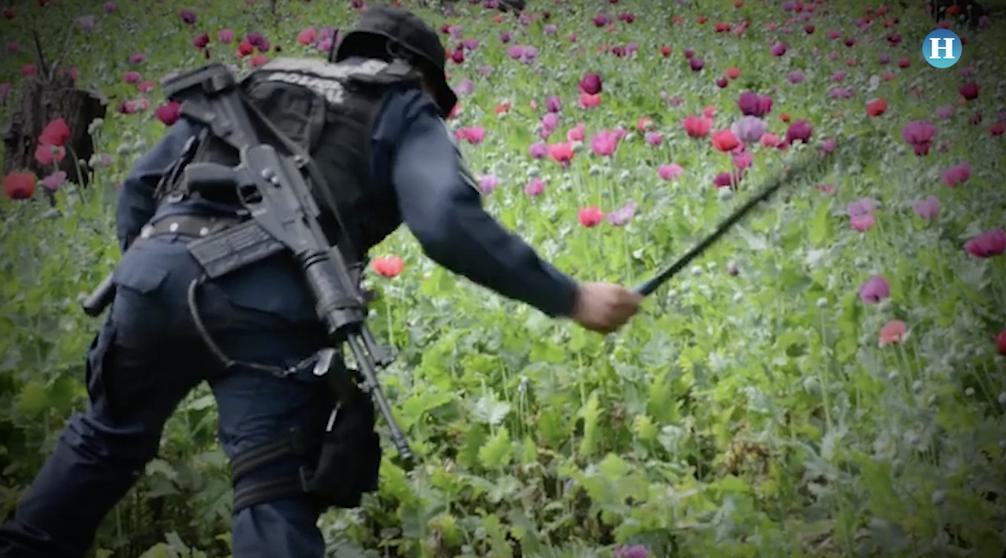Operativo Cebra: destruyen 475 millones de plantas de amapola