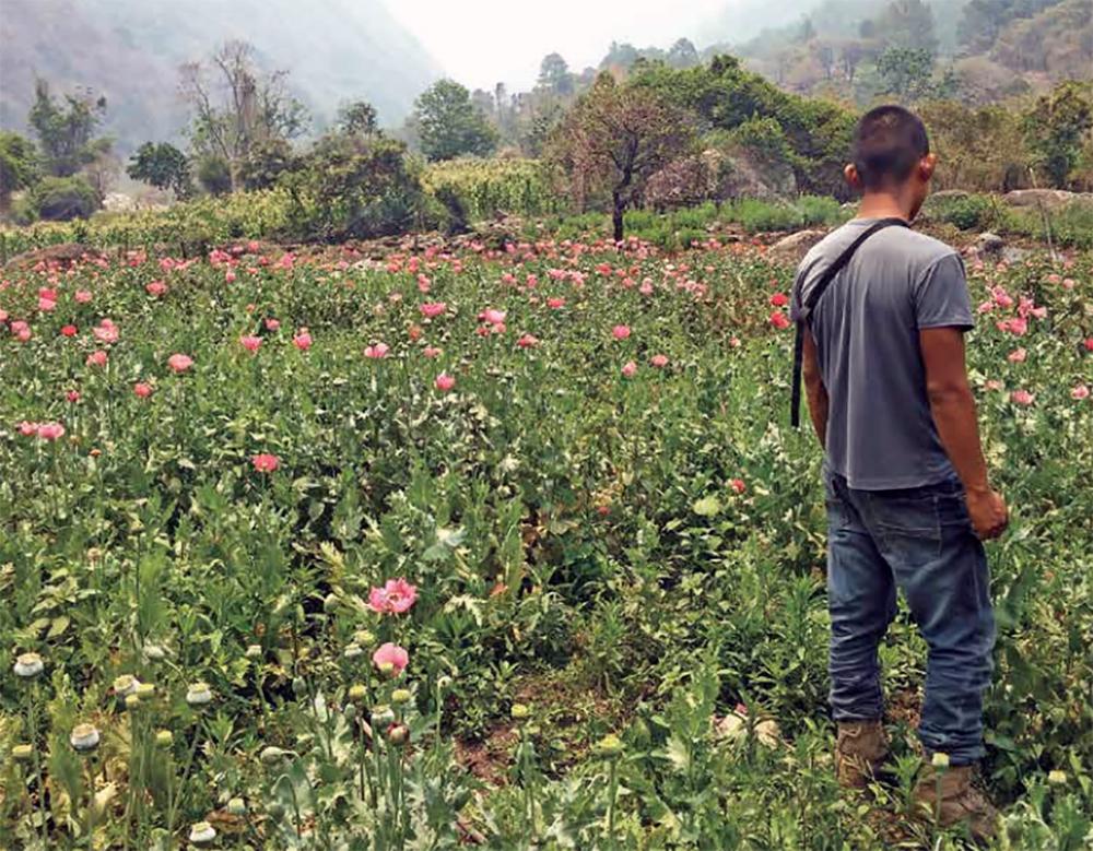 Amapola se marchita en la Sierra
