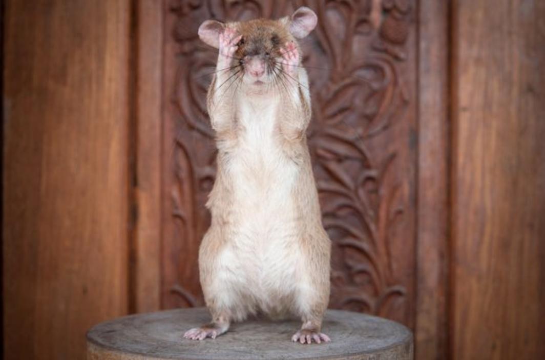 Rata heroina salva a miles de personas busca minas